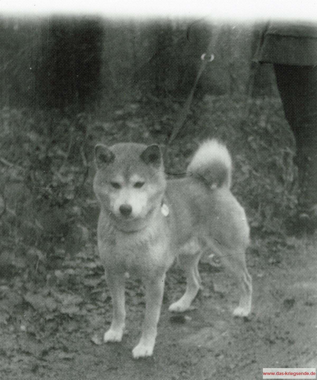 Mein Hund Shiro, Fotografiert mit der 79 jährigen Kleinbildkamera Zeiss Ikon Tenax I